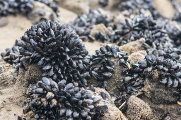 clusters of tiny blue mussels