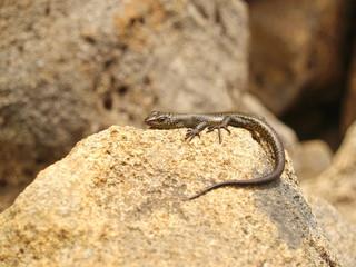 A lizard in Tasmania