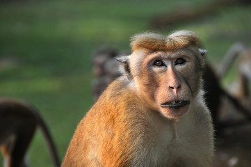 Portrait of a young wild toque macaque