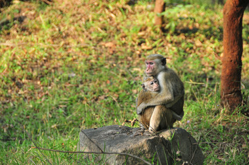Female wild toque macaque and offspring