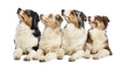 Group of Australian Shepherd lying and looking up