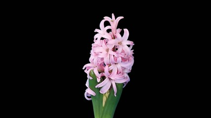 Time-lapse opening hyacinth flower buds ALPHA matte, (Hyacinthus