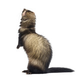 Rear view of a Ferret standing on hind legs and looking up