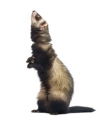 Ferret standing on hind legs and looking up