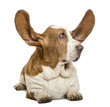 Basset Hound lying with ears up and looking rigth