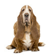 Old Basset Hound sitting and looking at the camera