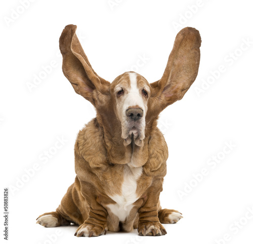 Old Basset Hound sitting with ears up, isolated on white