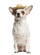 Chihuahua (2 years old) sitting and wearing a straw hat