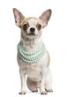 Chihuahua (2 years old) sitting and wearing a pearl necklace