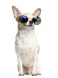 Chihuahua (2 years old) sitting and wearing sunglasses