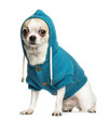 Chihuahua (2 years old) sitting and wearing a blue hoodie