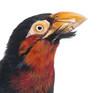 Close-up of a Bearded Barbet - Lybius dubius