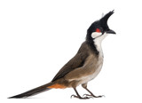 Side view of a Red-whiskered Bulbul - Pycnonotus jocosus poster