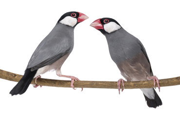 Two Java Sparrow perched on a branch- Padda oryzivora