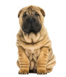 Front view of a Shar pei puppy sitting and looking at the camera