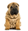 Front view Shar pei puppy sitting (11 weeks old)
