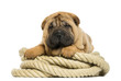 Shar pei puppy (11 weeks old) lying on rope - isolated on white