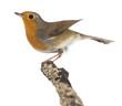 European Robin perched on a branch - Erithacus rubecula