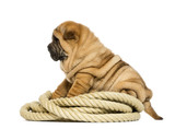 Shar pei puppy (11 weeks old) sitting on rope