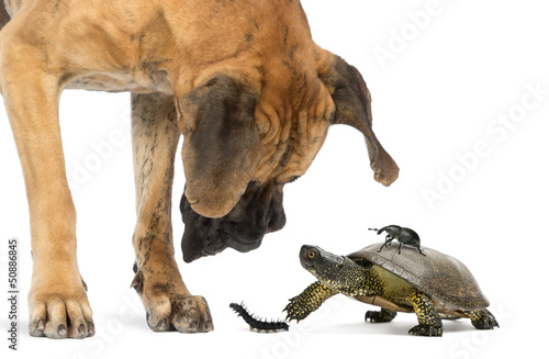 Papiers peints Tortue Great Dane looking at a turtle and insects, isolated on white