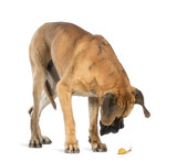 Great Dane looking at a snail, isolated on white