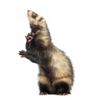 Ferret standing on hind legs and looking up, isolated on white