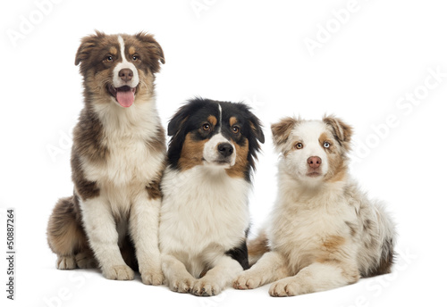 Group of Australian Shepherd lying and sitting