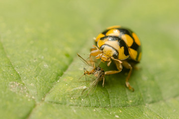 Yellow Ladybug Eating An Ant