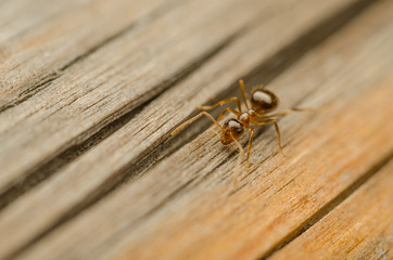 Red Ant Walking On A Wooden Plank