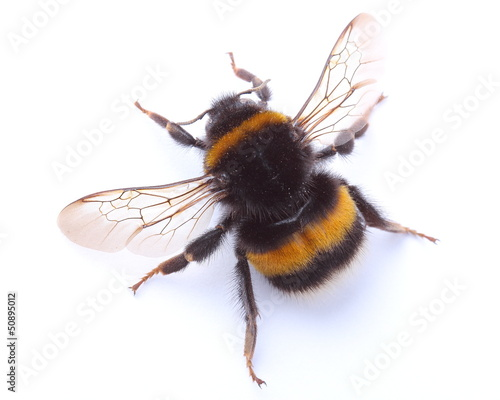 Foto op Plexiglas Bee bumblebee isolated on white
