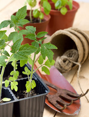 seedlings of tomatoes