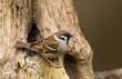 Tree Sparrow on a stump