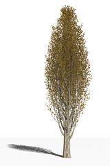 Тополь итальянский (Populus nigra var. Italica) в осенний период