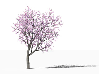 Цветущее персиковое дерево (Prunus persica) на белом фоне