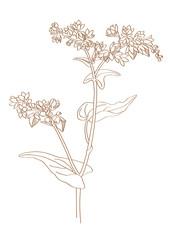 buckwheat-sketch