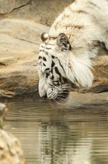 White tiger drinking water