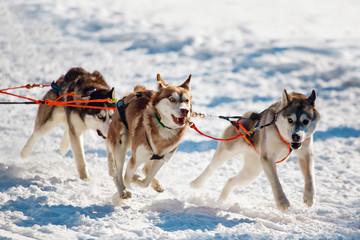 running husky dogs