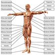 3D male or human anatomy, a man with muscles and text isolated
