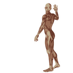 3D human or man with muscles for anatomy or sport designs