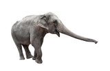 Elephant with stretched trunk isolated on white