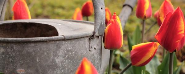 Triumph-Tulpe - Tulipa `Kees Nelis´