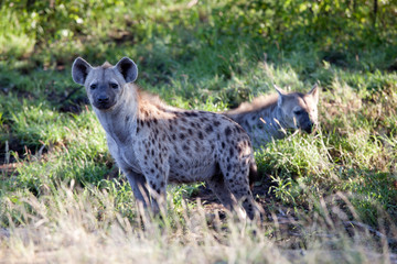 Couple of Spotted Hyena