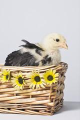 Pollito amarillo en cesta de mimbre con margaritas amarillas