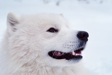 white samoyed dog barking