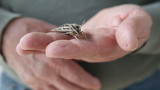 man holds live sphinx moth on his fingers