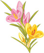 Bouquet of pink and yellow crocuses isolated on the white