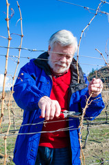 Senior male pruning grape vine branch in a vineyard