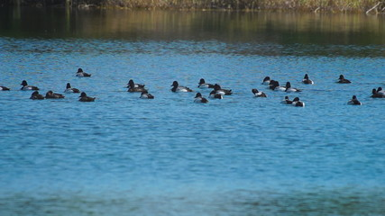 Large Bluebill Duck Flock