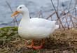 White duck on river coast