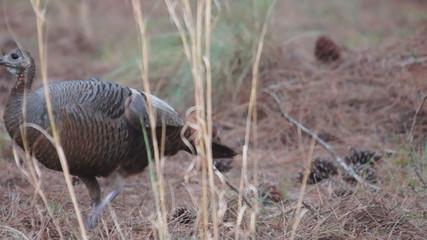 Osceola Wild Turkey Hen